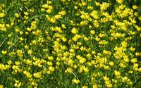 Creeping buttercup field wallpaper 2560x1600 jpg
