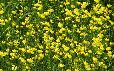 Creeping buttercup field wallpaper