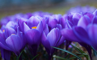 Crocus [2] wallpaper 2560x1600 jpg
