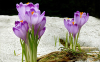 Crocus [3] wallpaper 1920x1200 jpg