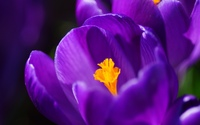 Crocus [11] wallpaper 2560x1600 jpg