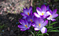 Crocus wallpaper 1920x1200 jpg