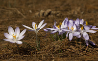 Crocus [9] wallpaper 2560x1600 jpg