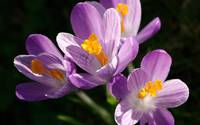 Crocus [8] wallpaper 1920x1200 jpg