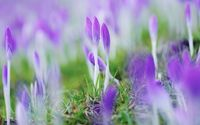 Crocuses wallpaper 2560x1600 jpg