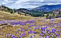 Crocuses on the hill wallpaper 1920x1080 jpg