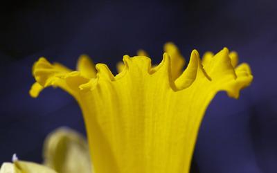 Daffodil [10] wallpaper