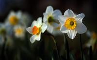 Daffodil [2] wallpaper 1920x1200 jpg