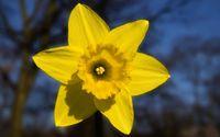Daffodil [7] wallpaper 1920x1200 jpg