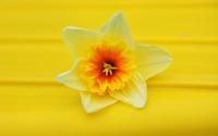 Daffodil [5] wallpaper 2560x1600 jpg