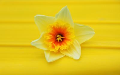 Daffodil [5] wallpaper