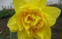 Daffodil [8] wallpaper 2560x1600 jpg