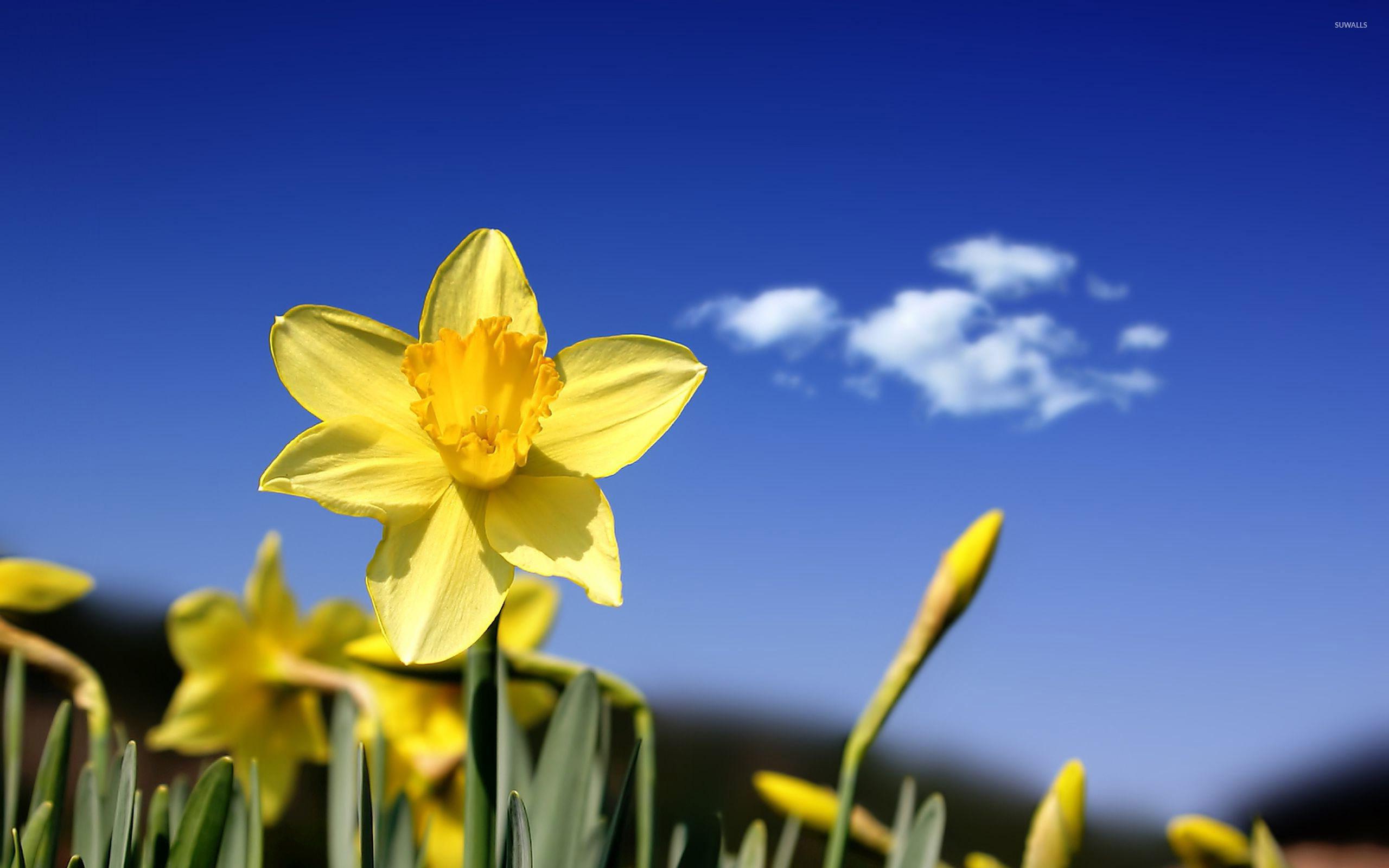 daffodil [3] wallpaper - flower wallpapers - #19361
