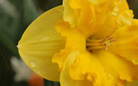 Daffodil [4] wallpaper 2560x1600 jpg