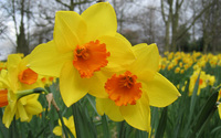 Daffodil wallpaper 1920x1200 jpg