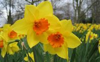 Daffodil wallpaper 1920x1200 jpg