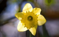 Daffodil [9] wallpaper 1920x1200 jpg