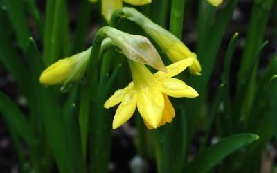 Daffodil [6] wallpaper