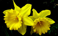 Daffodils wallpaper 2560x1600 jpg