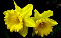 Daffodils wallpaper 2560x1600 jpg