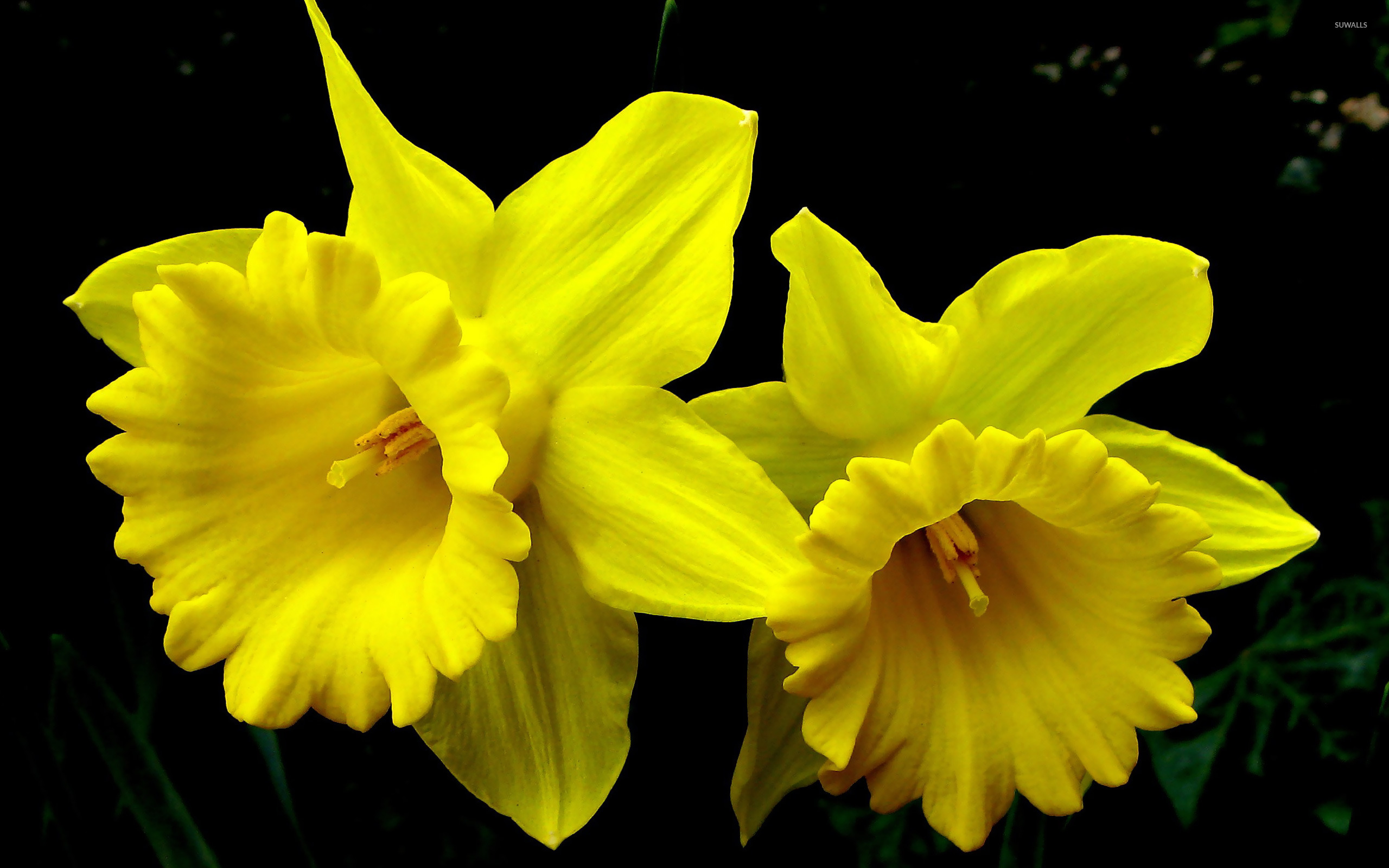 daffodils wallpaper - flower wallpapers - #11985