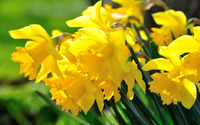 Daffodils [3] wallpaper 2880x1800 jpg