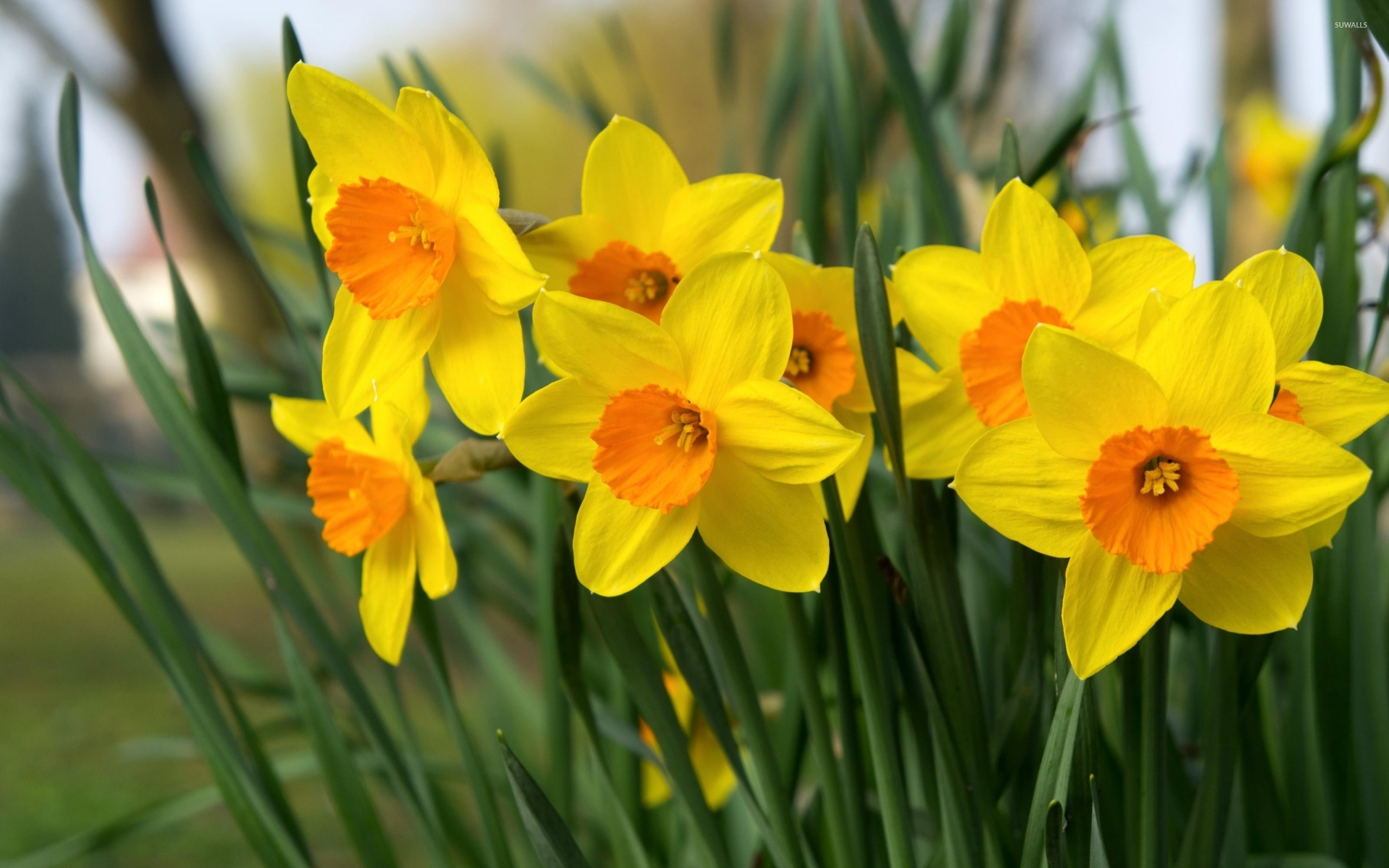 daffodils [4] wallpaper - flower wallpapers - #40029