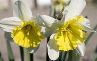 Daffodils [7] wallpaper 3840x2160 jpg
