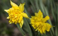 Daffodils [6] wallpaper 3840x2160 jpg