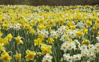 Daffodils [8] wallpaper