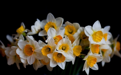 Daffodils with white and golden petals wallpaper