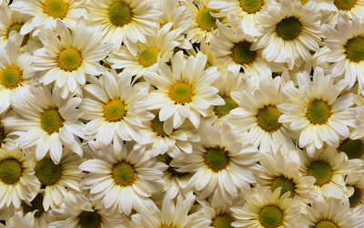 Daisies [2] wallpaper