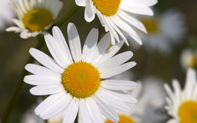 Daisies [21] wallpaper