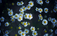 Daisies [10] wallpaper 2560x1600 jpg
