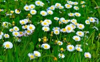 Daisies [18] wallpaper 1920x1200 jpg