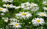 Daisies [20] wallpaper 1920x1200 jpg