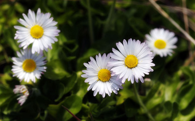 Daisies [3] wallpaper