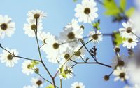 Daisies rising towards the bright sun wallpaper 2560x1600 jpg