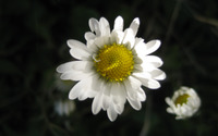 Daisy [8] wallpaper 2560x1600 jpg