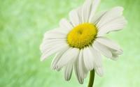Daisy [14] wallpaper 1920x1200 jpg