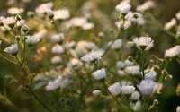 Daisy Fleabane in the sunset wallpaper 2560x1600 jpg