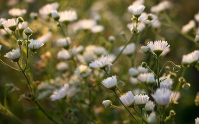 Daisy Fleabane in the sunset wallpaper
