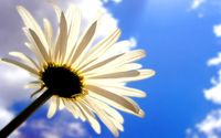 Daisy in the clouds wallpaper 1920x1080 jpg