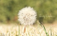 Dandelion [7] wallpaper 1920x1200 jpg