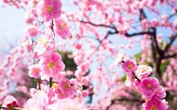Dark pink blossoms in the light wallpaper 1920x1080 jpg