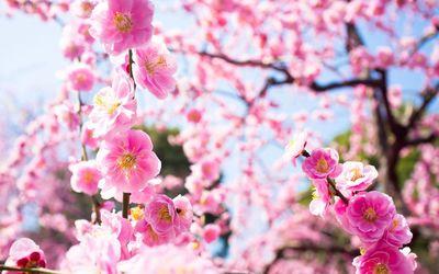 Dark pink blossoms in the light wallpaper