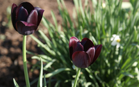Dark red tulips wallpaper 2560x1600 jpg