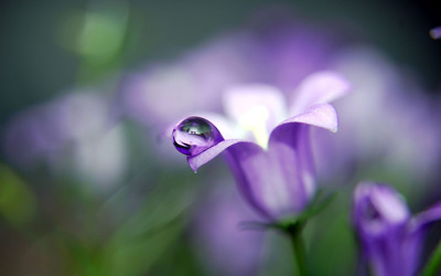 Dew drop on bellflower wallpaper