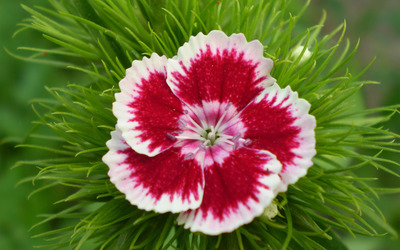 Dianthus barbatus wallpaper