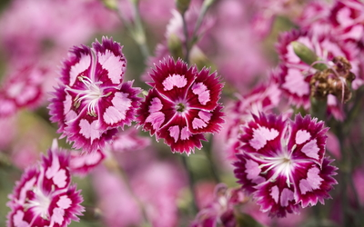 Dianthus barbatus [2] wallpaper